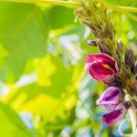 葛の花(くずの花)サプリメントの口コミ